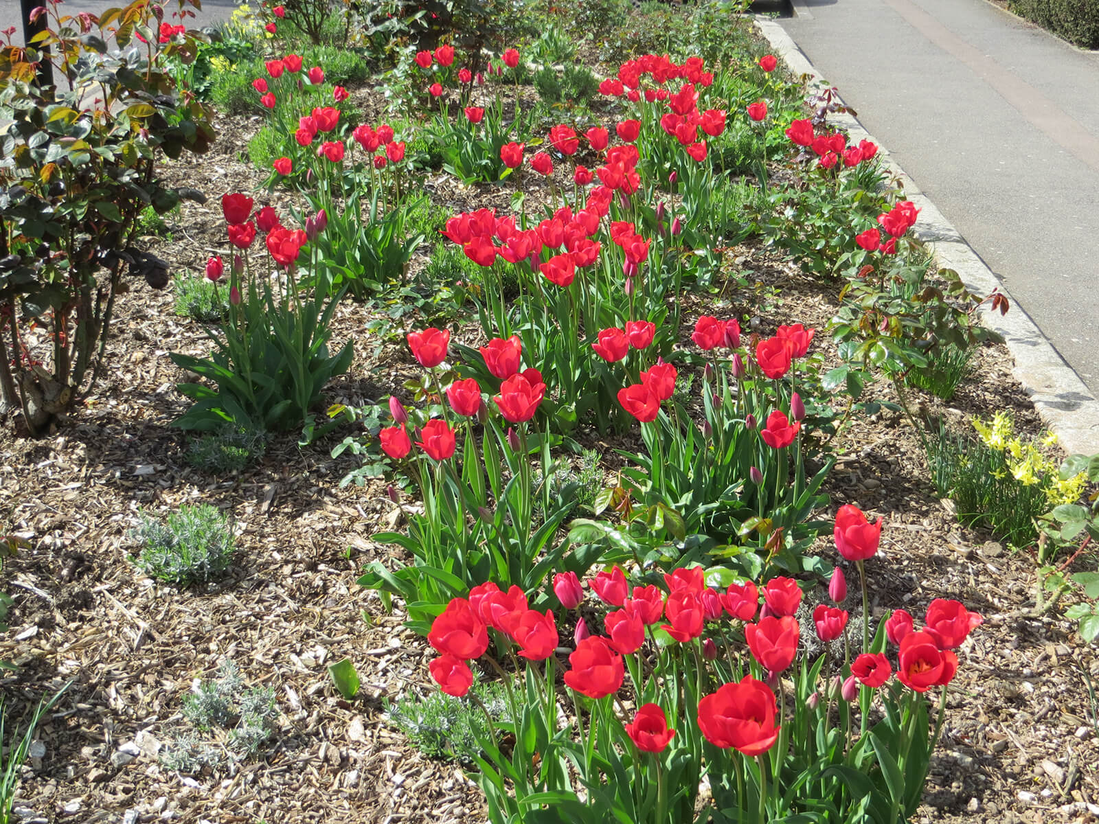 April-Tulip-s-in-rose-bed